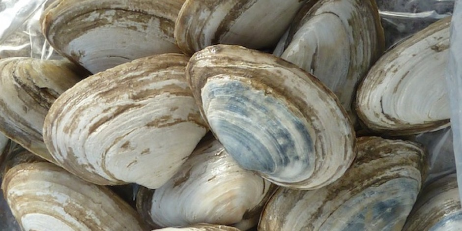 BOTTOM clams
